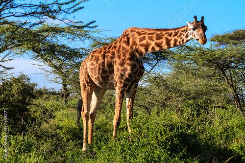 Vászonkép  Giraffe at the acacia bush. Tanzania, Africa