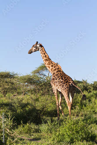 Very high maasai giraffe in the full growth Plakát