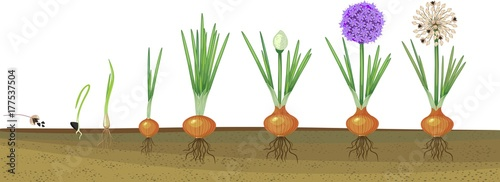 Onion life cycle. Onion growth stages from seeding to ...