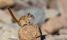 Least Chipmunk Poses On A Rock