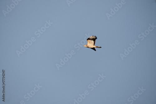 Foto op Canvas Luchtsport honey buzzard