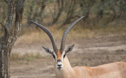 Poster Antilope Trophy of a head