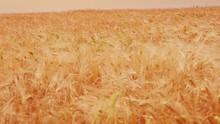 Barley Field, Crops, Farming. Jæren In Norway.