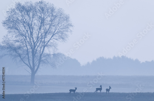Foto op Plexiglas Ree ROE DEER ON THE FIELD - Foggy autumn morning in the fields