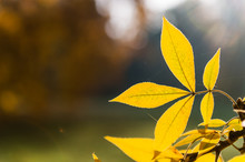 Yellow Leaves Of Hickory Tree, Close Up View. Golden Autumn Deciduous Tree. Fall Season In A Sunny Day