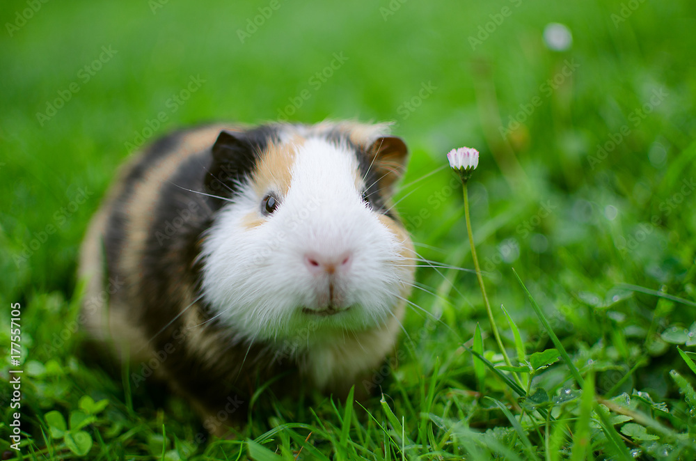 guinea pig walks in the fresh air and eating