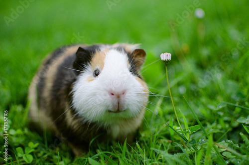 Fotografía  guinea pig walks in the fresh air and eating