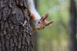 Red squirrel peeks out from the tree