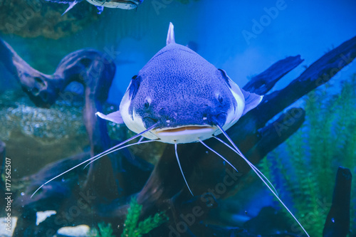 Fototapeta ryby w akwarium