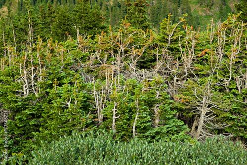 Fotografie, Obraz  Stunted Pines