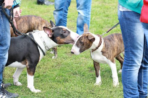 Papel de parede Dogs Bull Terriers Communicate