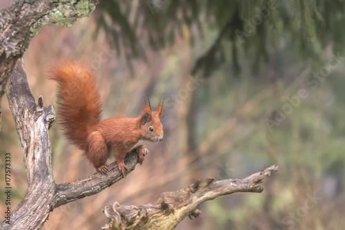 Eurasian Red Squirrel - (Sciurus vulgaris) Cute arboreal