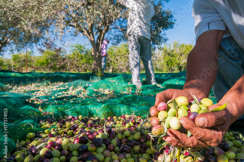 Hands of a picker holding a  handful of just picked olives Wallpaper Mural