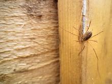 Harvestman Arachnid With Long ...