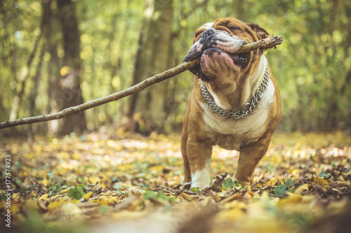 fototapeta na lodówkę Portrait of funny English bulldog with wooden stick in the park,selective focus