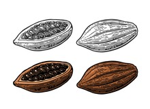 Fruits Of Cocoa Beans. Vector Vintage Engraved Illustration