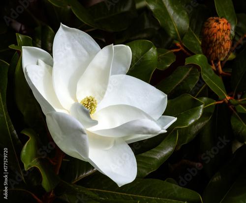 Plakat magnolia kwiat i strąki nasion na ciemnym zielonym tle