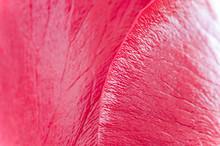 Red Rose Macro Detail Texture
