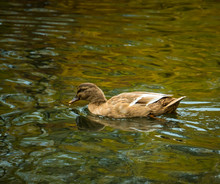A Cinnamon Teal Dabbling Duck ...