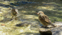House Sparrow - Male And Female