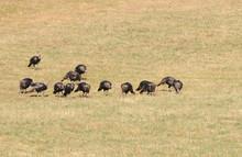 Flock Of Male Turkey's (Meleag...