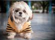 Cute dog Wore bright yellow shirts in winter.