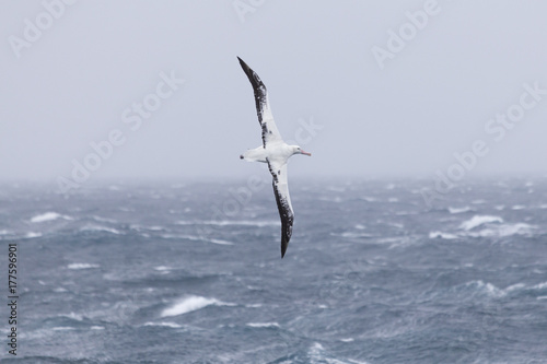 Vászonkép A wandering albatross at sea.