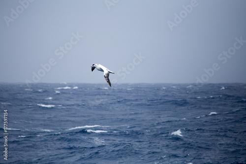 Fotografia, Obraz  A wandering Albatross at sea