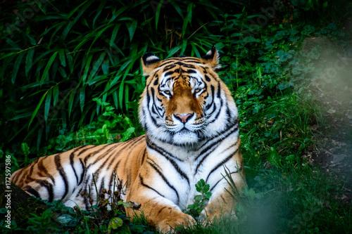 odpoczywajacy-tygrys-amurski