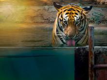 Big Panther Tiger Drinking Wat...