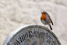 European Robin Perched On A Gravestone In A Cemetery