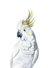 White And Yellow Cockatoo Wate...