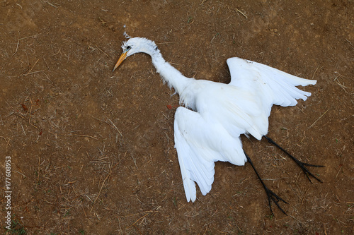 White Heron dead on the lawn