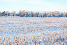 Stubble Field With Snow In A W...