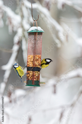 Tablou Canvas Blue tits and Great tit at a bird feeder in the garden in the winter