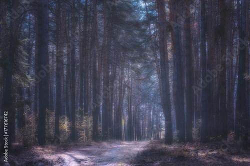 Fototapeten Wald mysterious pine forest in a light fog