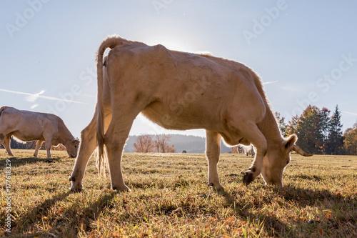 Plakat Stado krów na pastwisku jesienią. Jesień łąka i krowa