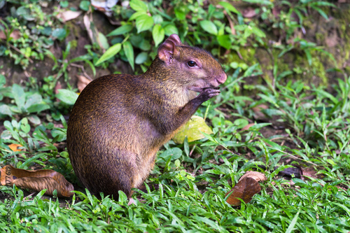 Red rumped Agouti, (Dasyprocta leporina), feeds on a seed, Amazon Rain Forest, T Canvas Print