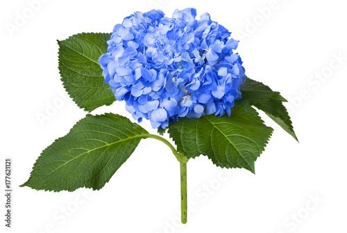Spoed Foto op Canvas Hydrangea Nice blue hydrangea