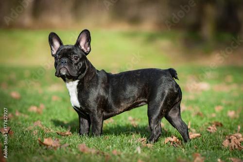 Deurstickers Franse bulldog Französische Bulldogge