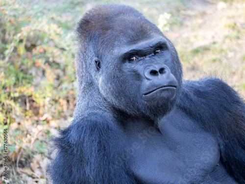 Photo portrait of a male Western Lowland Gorilla, Gorilla