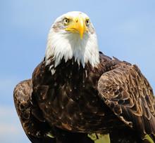 Portrait Of A Young Eagle