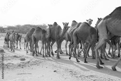 Garden Poster Bestsellers camels