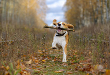 Beagle Dog Playing With A Stic...