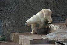 Polar Bear In The Saint-Peters...