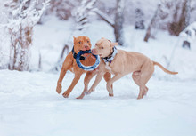 Dogs Are Playing On The Snow In The Woods