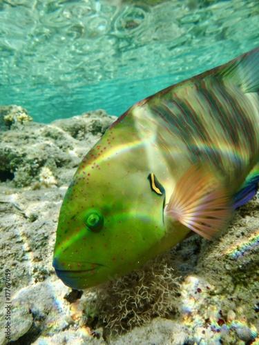 Obraz na dibondzie (fotoboard) Broomtail wrasse w Morzu Czerwonym