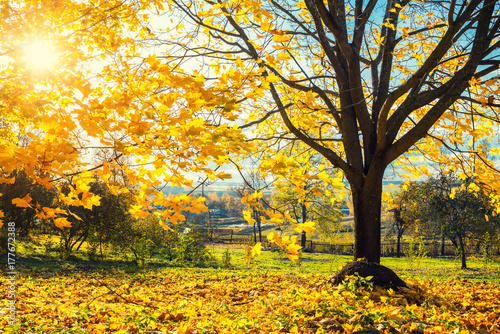 Fototapety, obrazy: Colorful tree and blue sky in the autumn park