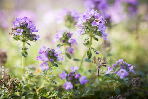 Fototapeta Flowering thyme