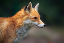 Portrait Of A Red Fox (Vulpes ...